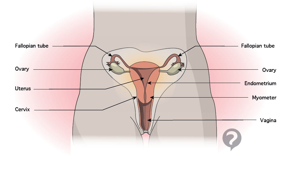 Endometrium - Definition