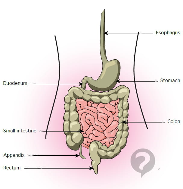 colon - definition, Human Body