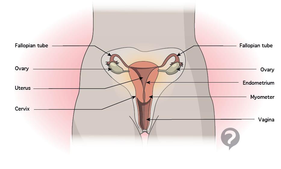 Endometrium Definition