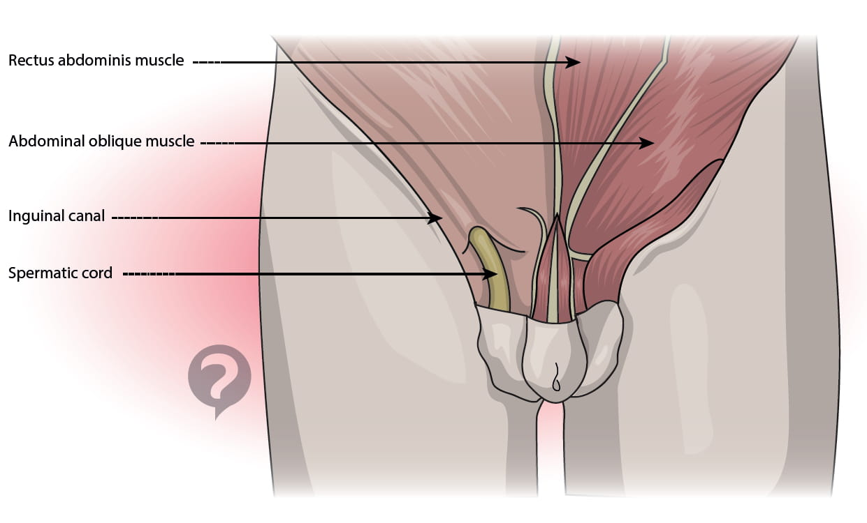 inguinal canal - Selo.l-ink.co