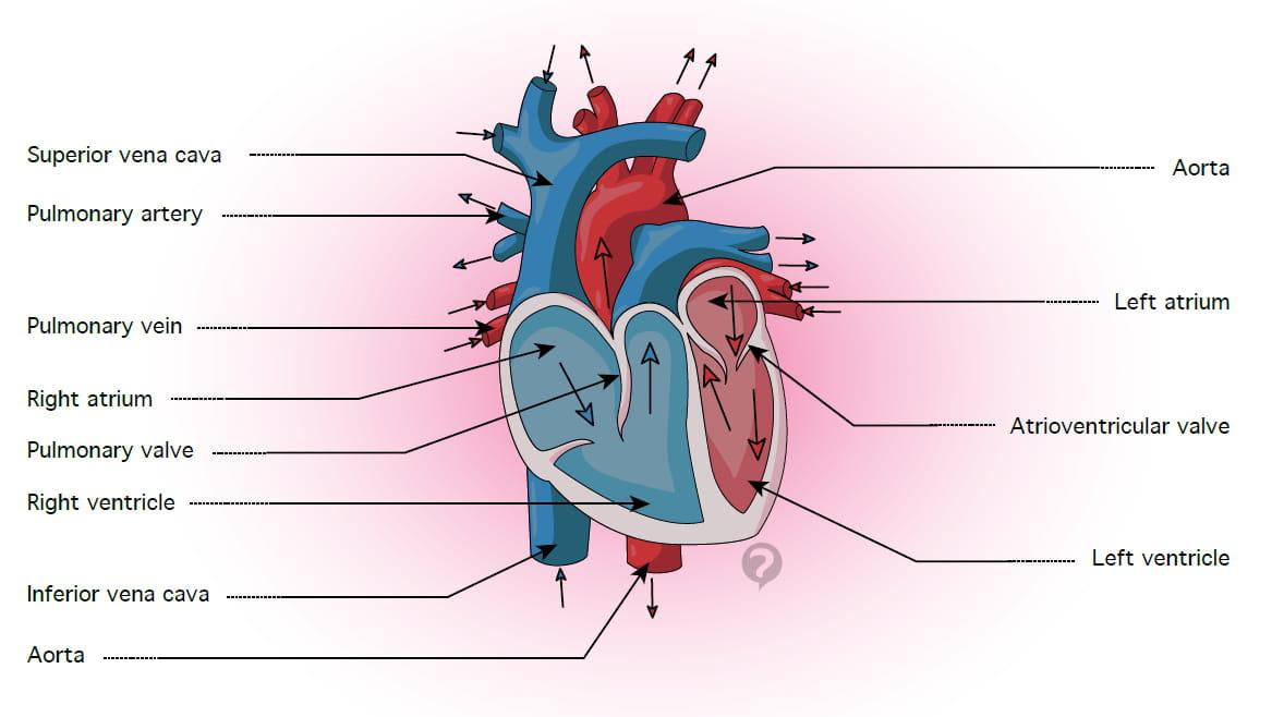 Pulmonary artery - Definition