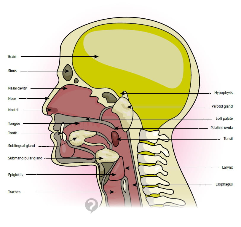 Throat (anatomy) - Definition