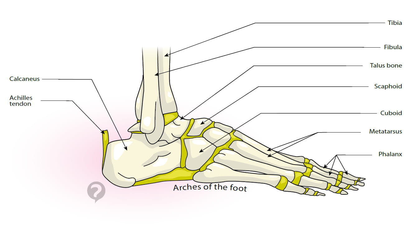 Arch of the foot - Definition