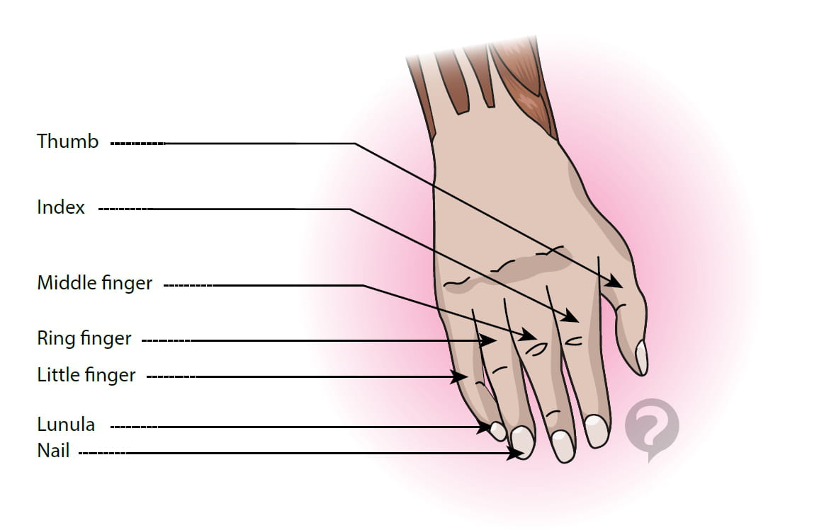 Index finger (anatomy) - Definition