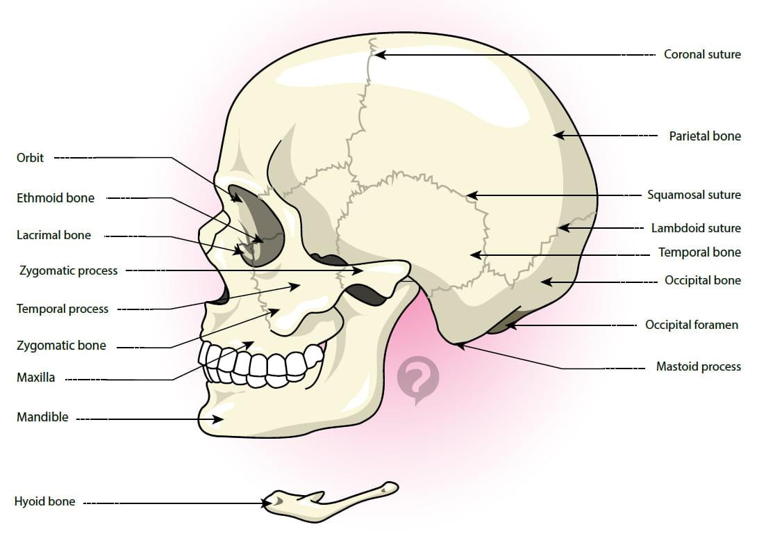 where is the occipital bone