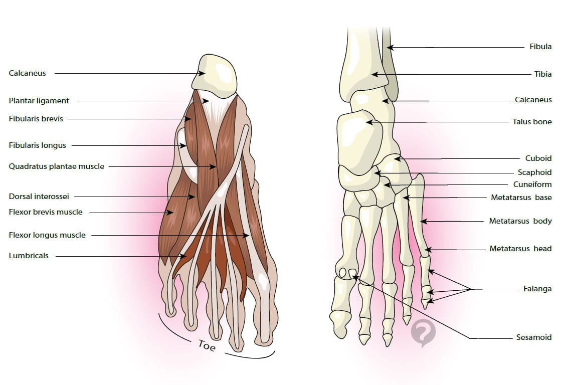 Long Peroneal Muscle