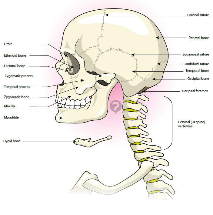 Cervical Vertebra Definition