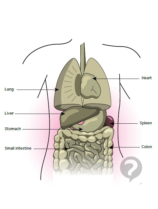 Stomach anatomy definition related stomach anatomy definition ccuart Images