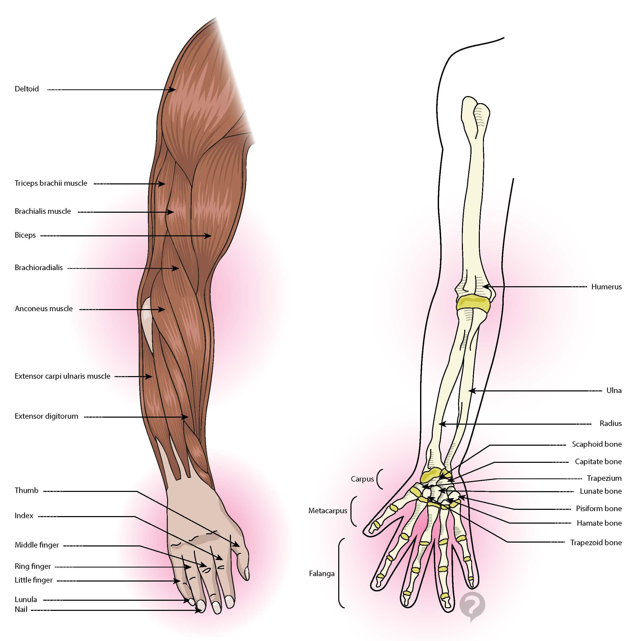 Fantastisch Menschliche Anatomie Definition Fotos - Menschliche ...
