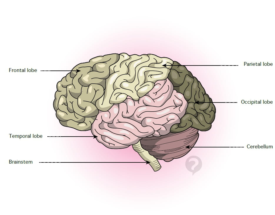 Temporal lobe - Definition