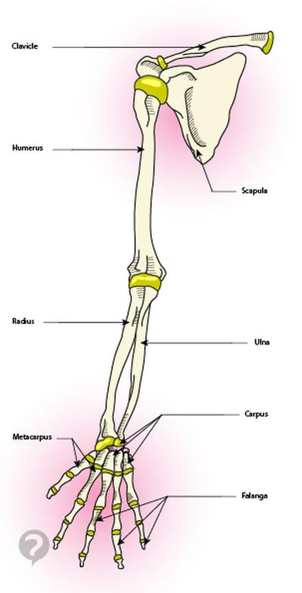Upper limb (arm) - Definition - CCM Health