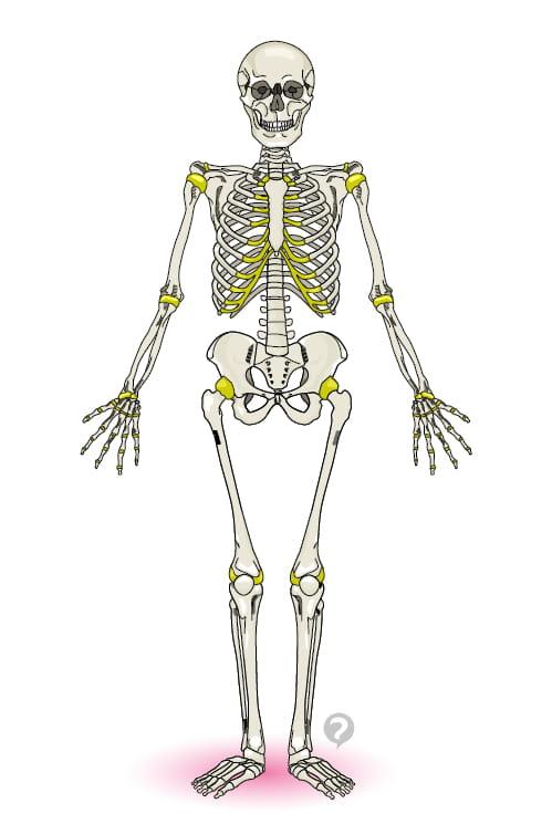 Human Skeleton Definition