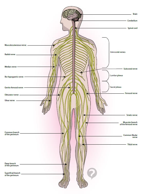 Peripheral Nerves Definition