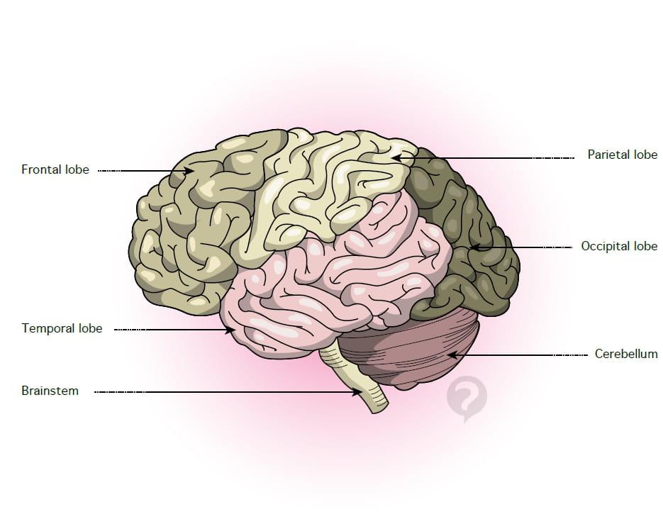 Lobe Brain Definition